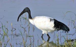 ibis sacré dans le marais